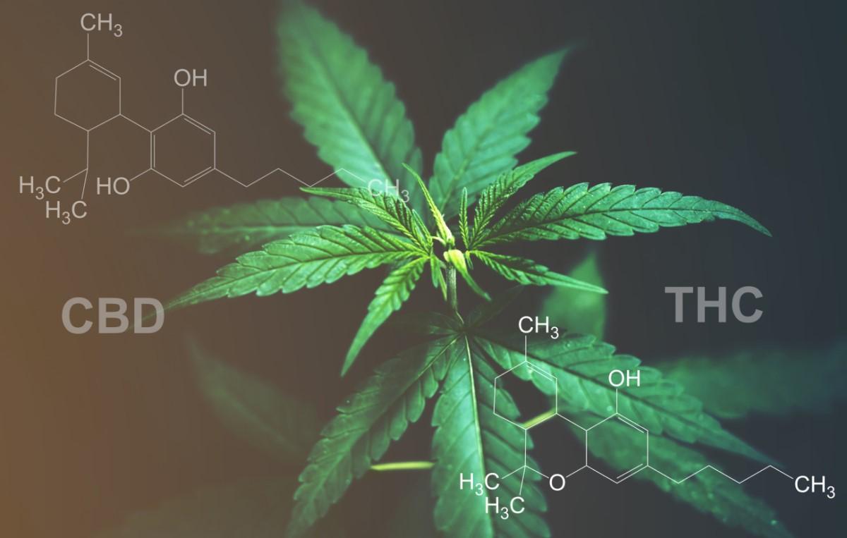 CBD versus THC: Poznáte rozdiel v účinkoch a použití?