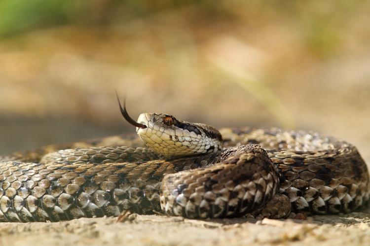Je uhryznutie hadom v našich podmienkach nebezpečné?