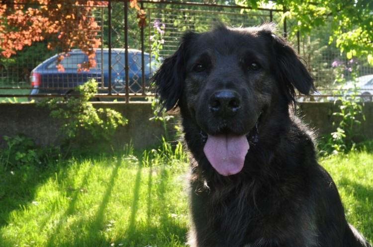 Čierny pes, vyplazený jazyk, stromy, tráva, autá za plotom
